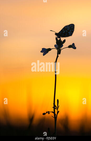Orange-tip (Anthocharis cardamines), sitting on a bitter-cress in backlight, Germany, Lower Saxony, Oldenburger - Stock Image