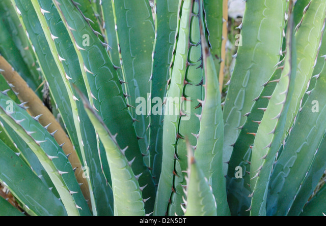 Agave on the Bright Angel trail, Colorado, United States of America, North America - Stock Image