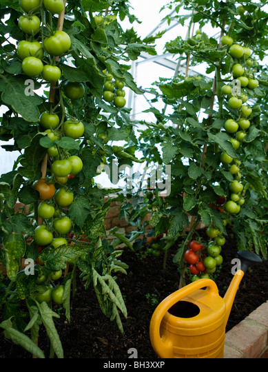 A green house containing tomato plants - Stock Image