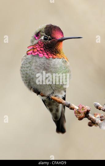 Male Anna's Hummingbird (Calypte anna) perched on a branch. - Stock-Bilder