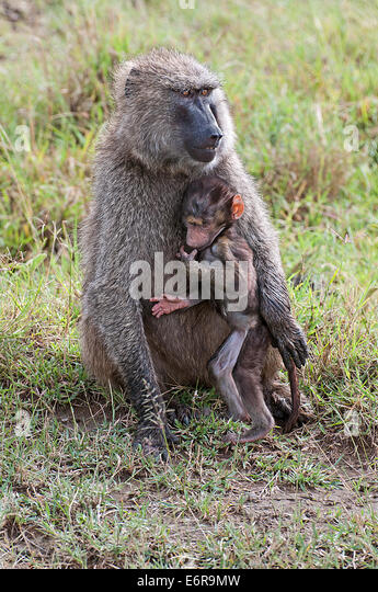 Female Olive Baboon cuddling her baby whilst sitting in grassland in Lake Nakuru National Park Kenya East Africa - Stock Image