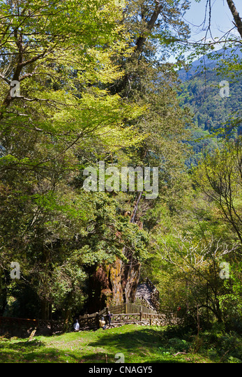 Chamaecyparis formosensis, Formosan or Taiwan Cypress tree, Alishan sacred tree, the oldest in Taiwan, near Route - Stock Image