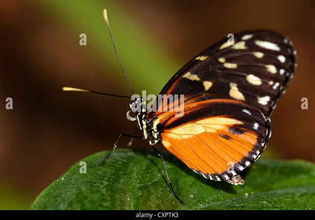 Tiger Longwing Butterfly - Stock Image