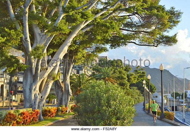 Harbor promenade alley of trees in Santa Cruz De Tenerife Canary Islands Spain - Stock-Bilder