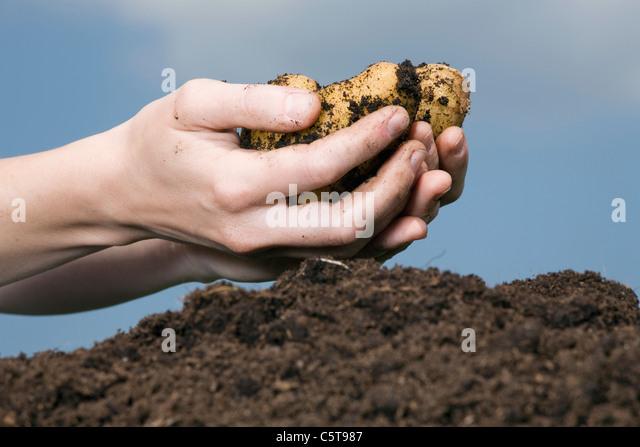 Hand holding potato, close-up - Stock Image