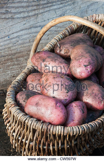 Potato Sarpo Una freshly dug harvested early main crop summer August home grown full soil pink allotment organic - Stock Image