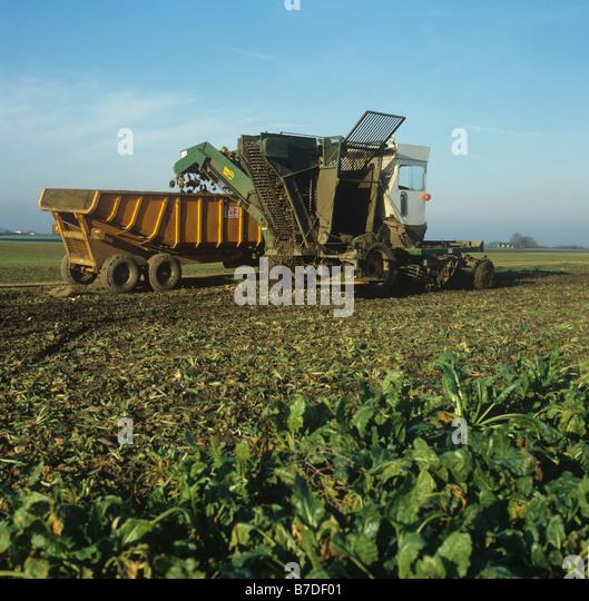 Standen harvester elevating mature sugar beet crop and offloading to trailer - Stock Image