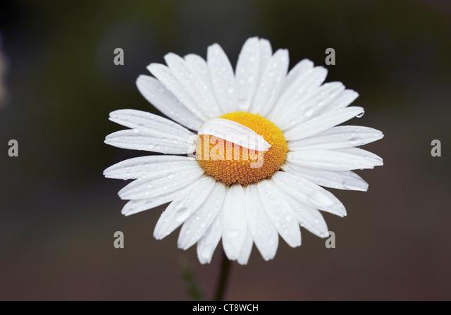 Leucanthemum vulgare, Daisy, Ox-eye daisy - Stock Image