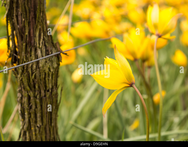 Detail of the blossom of yellow turkish tulip by ancient vine in vineyard in Castell Bavaria Germany in spring when - Stock Image