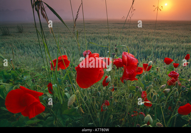 poppies in a barley field at dawn Flanders France - Stock Image
