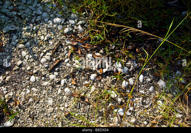 Calusa Indian Shell Mound Rookery Bay National Estuarine Research Reserve southwest Florida - Stock Image