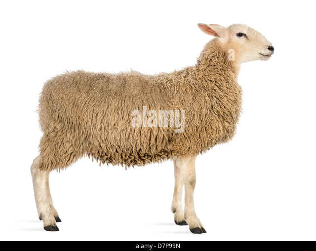Side view of Sheep standing in front of white background - Stock Image