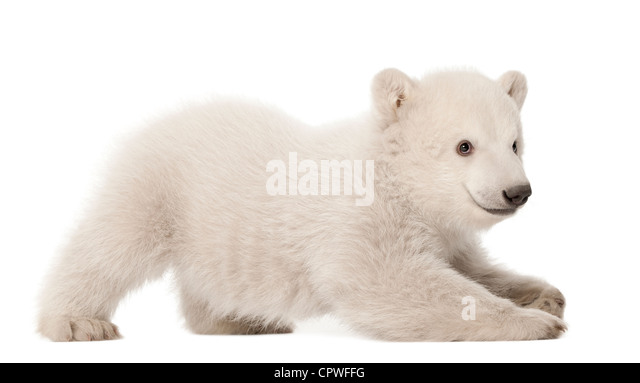 Polar bear cub,  Ursus maritimus, 3 months old, against white background - Stock Image
