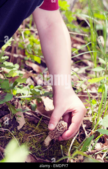 child picks Morel mushroom - Stock Image