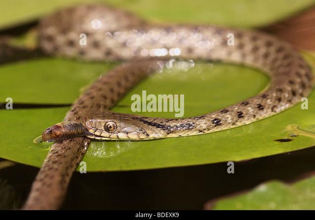 Dice snake (Natrix tessellata) swallows a fish - Stock Image