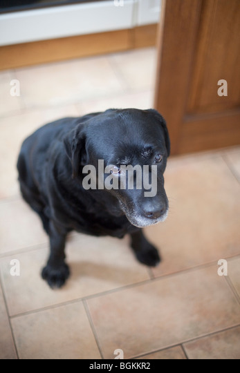 Labrador looking at camera with soulful expression - Stock Image