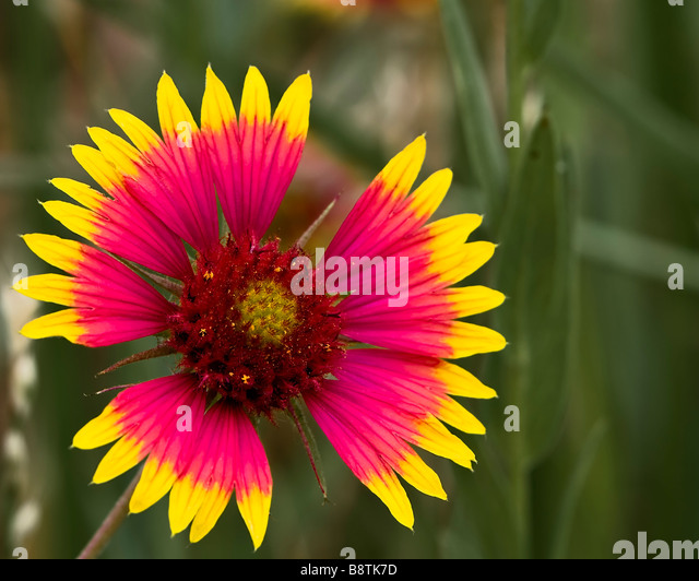 Indian Blanket Wildflower - Stock Image