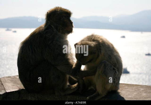 Gibraltar Apes mutual grooming - Stock Image