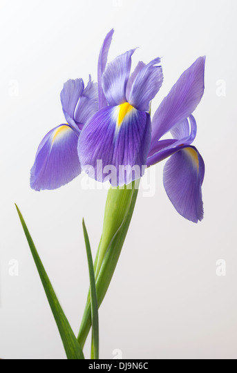 Iris flower with stem and leaves in close-up against plain background. - Stock Image