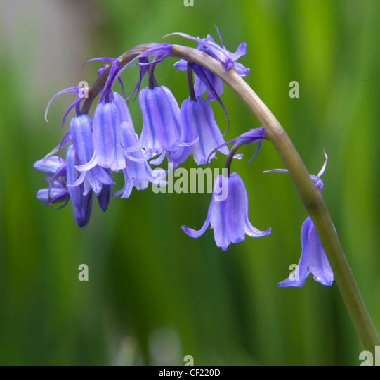 Common Bluebell, ( Hyacinthoides ) a blue flower seen in spring, here in Lymm, Cheshire, UK - Stock Image