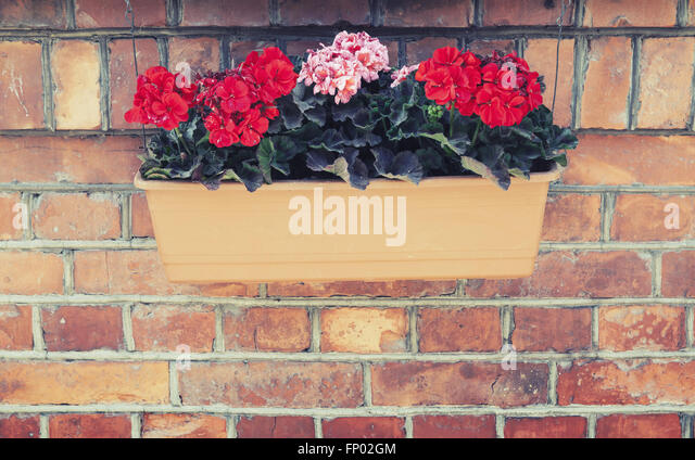 Decorative flowers in outdoor box hanging on red brick wall. Vintage tonal correction filter effect, old style photo - Stock Image