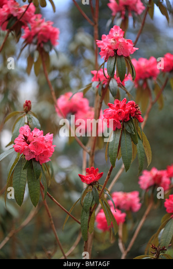 Deep pink Rhododendron arboreum MH18 photographed at RHS Harlow Carr - Stock Image