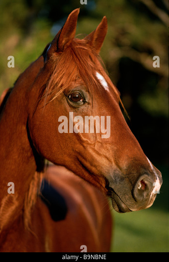 Close-up of chestnut horse - Stock Image