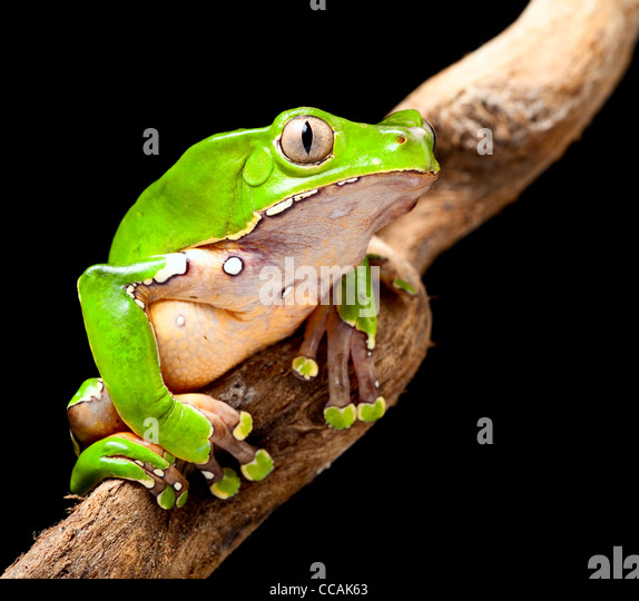tree frog at night in amazon rain forest sitting on a jungle tree branch green treefrog - Stock-Bilder