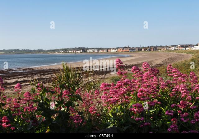 Republic of Ireland, County Fingal, Skerries, Red valerian near beachside - Stock Image