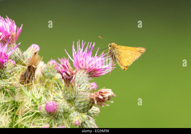 Butterfly. Richmond Park, London UK - Stock Image