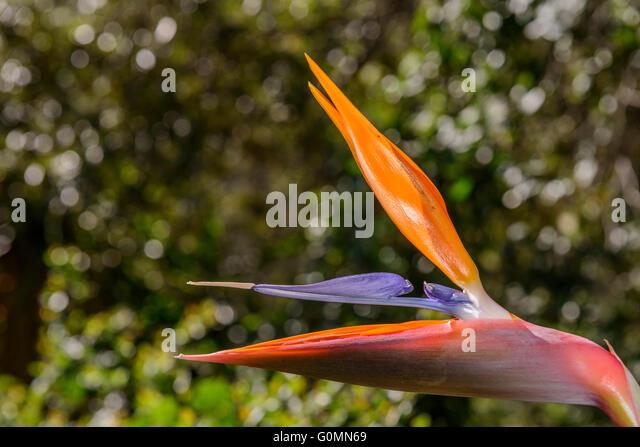 Caesalpinia gilliesii stock photos caesalpinia gilliesii for Oiseau france