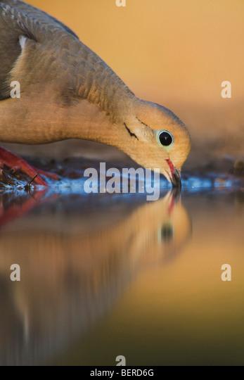 Mourning Dove (Zenaida macroura),adult drinking, Rio Grande Valley, Texas, USA - Stock Image