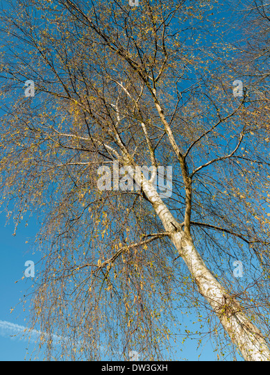 SILVER BIRCH TREE IN AUTUMN AGAINST BLUE SKY England UK - Stock Image