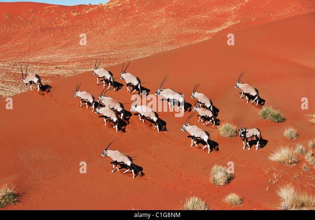 Gemsbok (Oryx gazella) In typical desert habitat. Dist. South-Western & Northern East Africa. NamibRand Nature - Stock Image