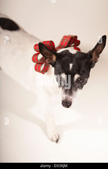 Black and white dog with Christmas bow collar on white background, high angle view, portrait - Stock Image