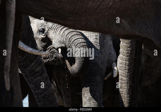 Details of an African Elephant - Stock-Bilder