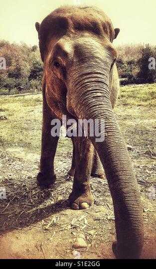 Charging Asian elephant - Stock-Bilder