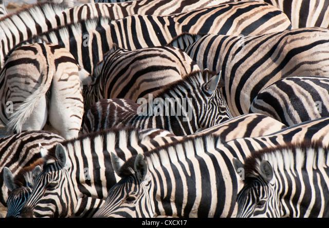 Burchell's zebra (Equus burchellii), Etosha National Park, Namibia. Africa - Stock Image