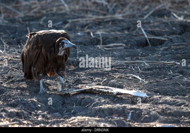 Vulture eating stock photos amp vulture eating stock images alamy