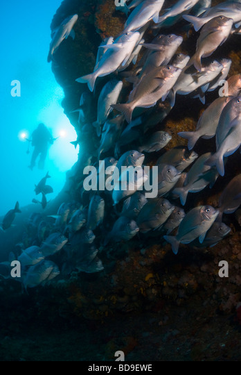 Scuba diver and schooling fish in Aliwal Shoal, South Africa - Stock Image