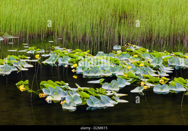 Pond Lilies (Nuphar Polysepalum) and marsh grass grow along the southern tip of Turnagain Arm, near Portage, Alaska, - Stock Image