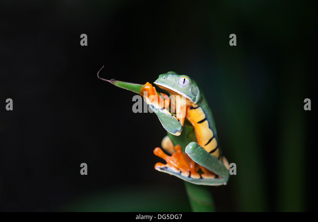 Golden-eyed Leaf Frog (Cruziohyla calcarifer) clinging to plant stem - Stock Image