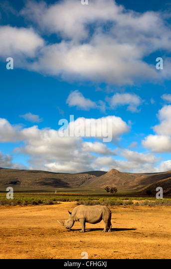 White Rhinoceros in landscape, South Africa - Stock Image