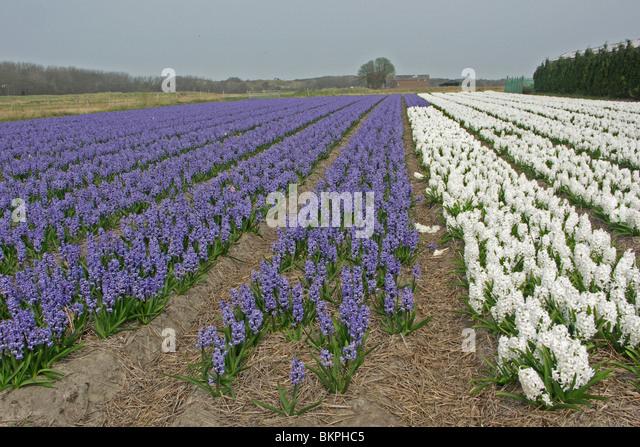 Bollenveldjes van firma Overdevest met witte en blauwe hyacinten, aan de rand van natuurontwikkelingsgebied Lentevreugd - Stock Image