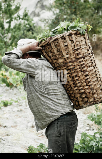 Grape yield carried in a basket at harvest; Cappadocia, Turkey - Stock Image
