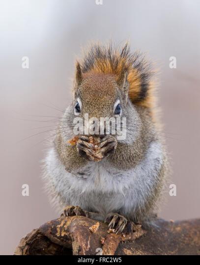 American red squirrel in autumn light (Tamiasciurus hudsonicus) - Stock-Bilder