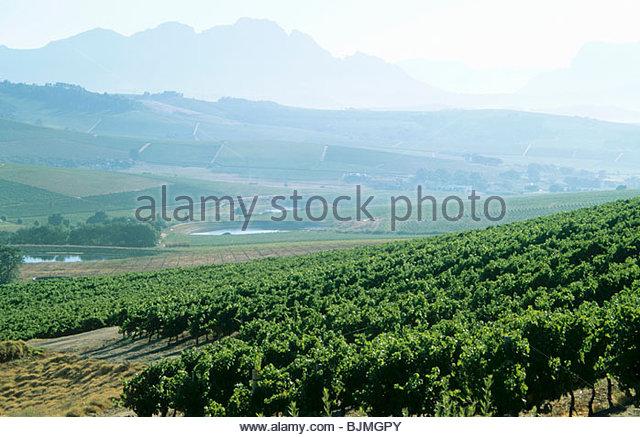 View over Jordan Vineyards, Stellenbosch, S. Africa - Stock Image
