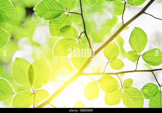 beech leaves and sun light - Stock-Bilder