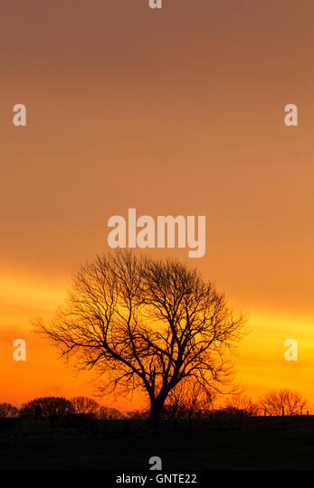 Large tree with smaller trees either side of it in silhouette against a bright orange sky at sunrise - Stock Image