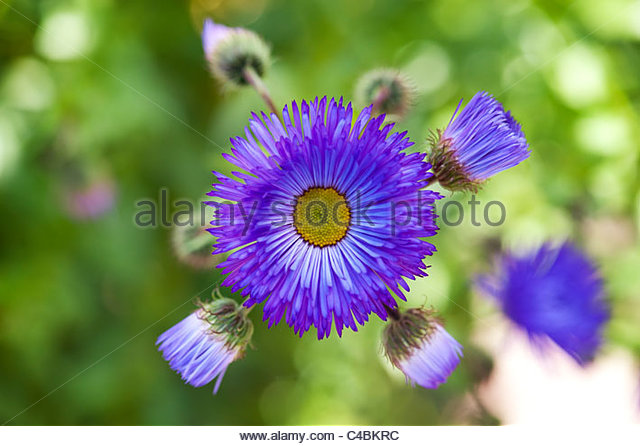 Erigeron Sommerabend flower. Fleabane - Stock Image